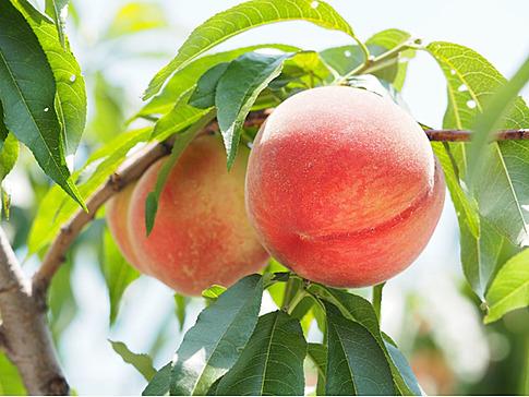 旬の桃狩りを楽しむ♡「桜会の季」と朝倉・うきはを巡る旅